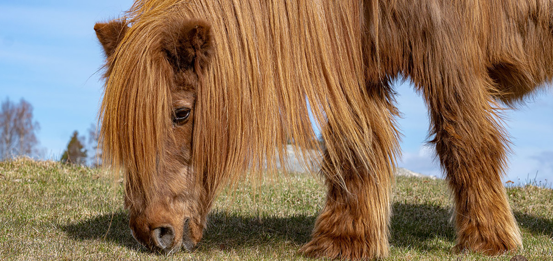 Comment nourrir son cheval Cushing (PPID ou DPIP) ?