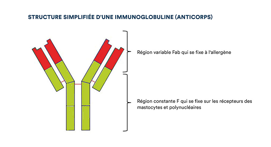 Structure simplifiée d'une immunoglobuline (anticorps)