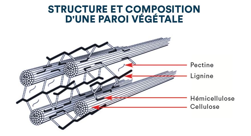 Structure et composition d'une paroi végétale