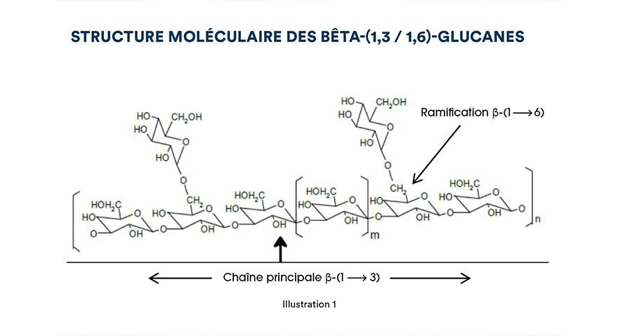 Structure moléculaire des bêta-(1,3 / 1,6)-glucanes