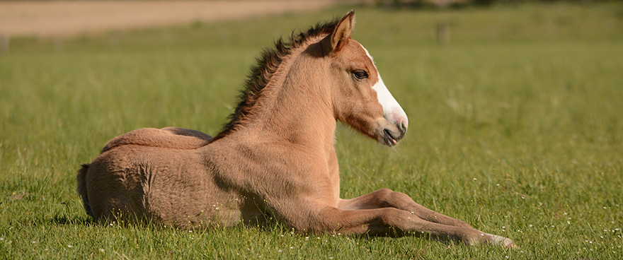 Foal taking a rest