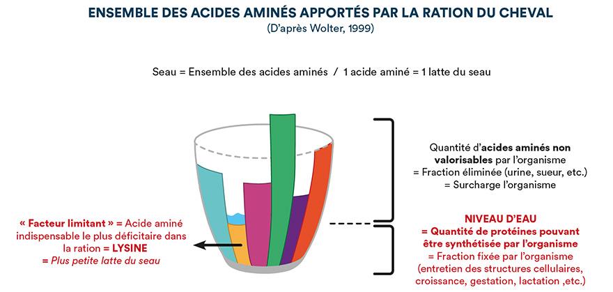 Ensemble des acides aminés apportés par la ration du cheval