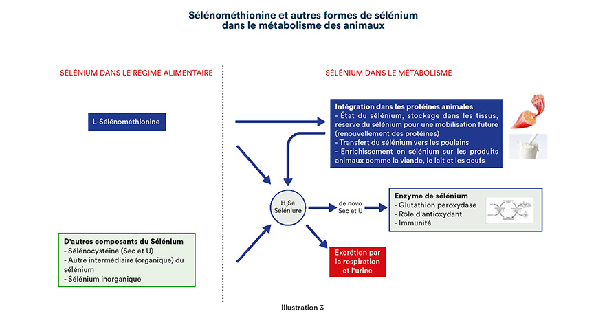 Sélénométhionine et autres formes de sélénium dans le métabolisme des animaux