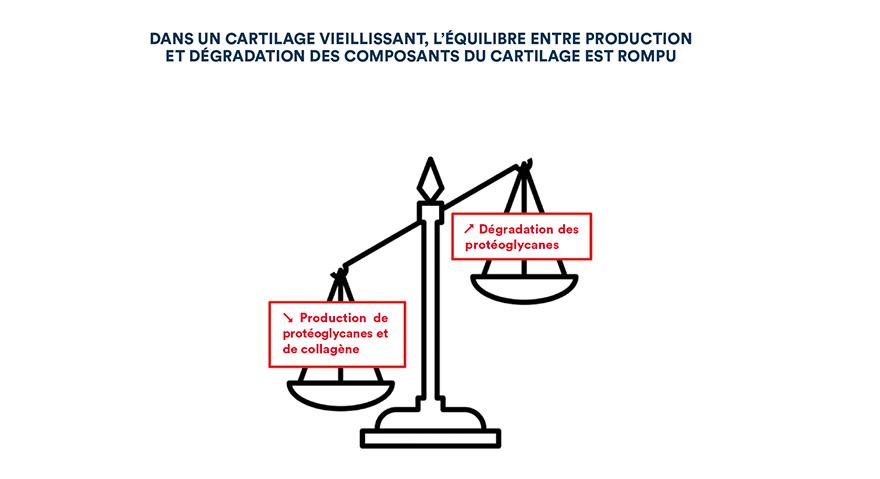 Dans un cartilage vieillissant, l'équilibre entre production et dégration des composants du cartilage est rompu