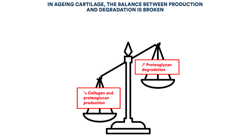 In ageing cartilage, the balance between production and degradation is broken
