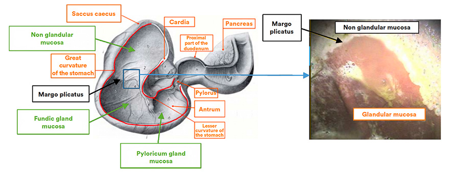 The margo plicatus