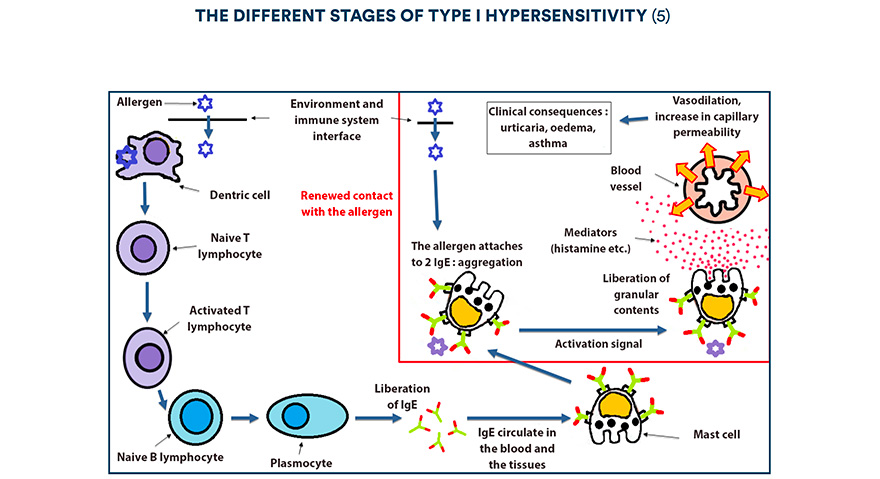 The different stages of type I hypersensitivity (5)