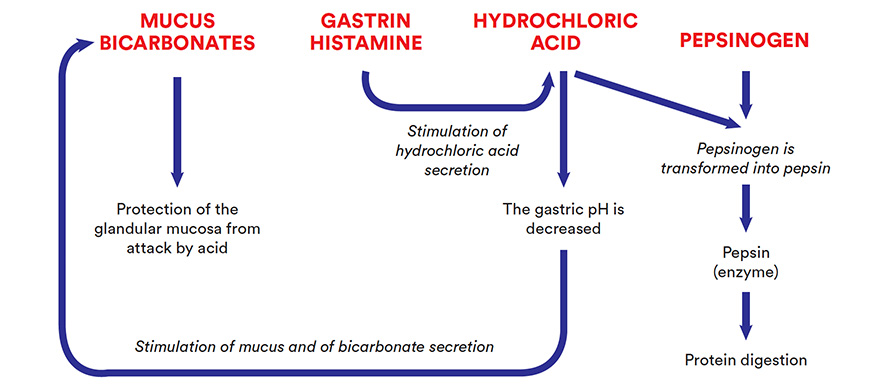 pH of the gastric contents
