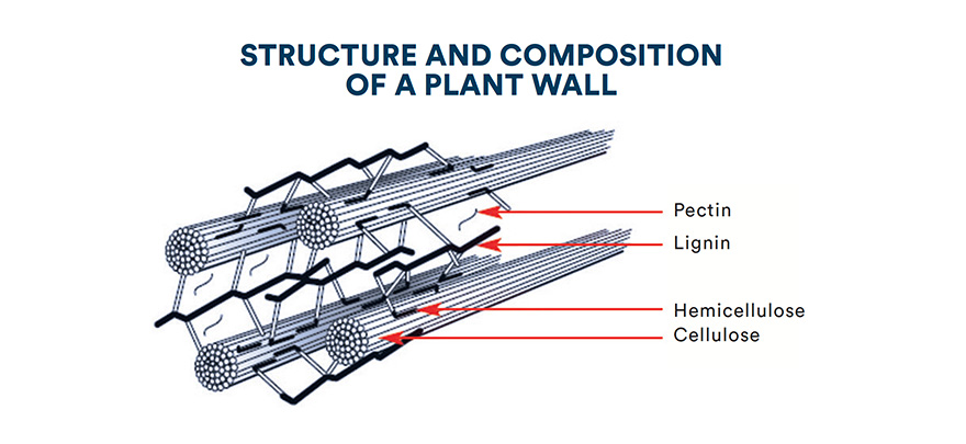 Structure and composition of a plant wall