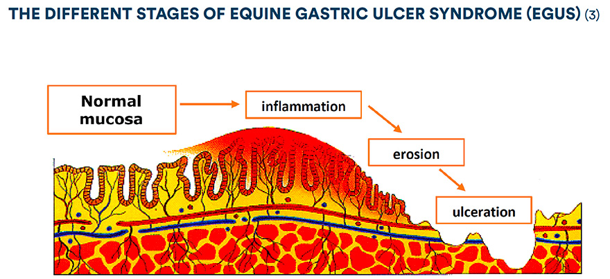 the different stages of equine gastric ulcer syndrome (egus)